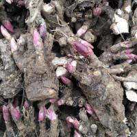 白芍芽子的种植效益白芍种苗挣钱吗