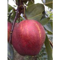 早美酥梨苗新价格 早美酥梨苗品种特点