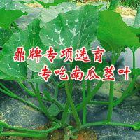 绿色健康专吃南瓜茎叶新品种——绿健