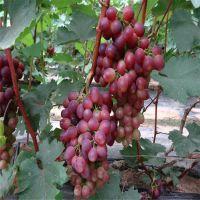 泰安葡萄苗,葡萄苗品种齐全