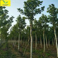 5公分法桐树 道路两旁绿化树种 6公分8公分法桐树 规格齐全 成活率高 悬铃木