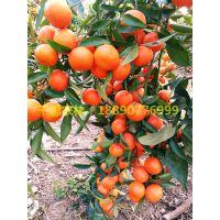 湖南千思农林基地供应30-80cm枳壳嫁接种苗世纪红柑橘苗