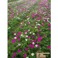 合胜花卉(图)|多年生草花生产|香港草花