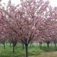 3-15公分的樱花 鄢陵永博花卉花圃基地