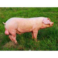 湖北种猪养殖基地大量批发太湖黑母猪苗