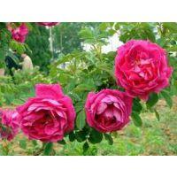 江苏蔷薇苗种植基地 出售0.5-1.5米高优质蔷薇苗