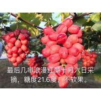 浪漫红颜葡萄苗浪漫红颜苗木浪漫红颜苗木价格就选昌黎正源苗木基地13933549660