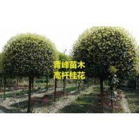 四川桂花种植基地成都高杆桂花大量批发出售