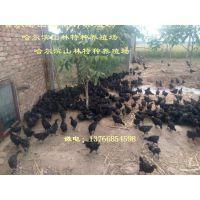 黑龙江五黑绿壳蛋鸡养殖、五黑绿壳蛋鸡雏哈尔滨五黑绿壳蛋鸡养殖、五黑绿壳蛋鸡雏齐齐哈尔五黑绿壳蛋鸡养殖