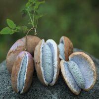 致富果 布福娜果苗 品种纯正 黑老虎种苗人工栽培挂果早