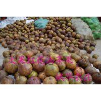 广西红花油茶种子多少钱一斤