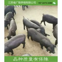 江苏省苏太黑母猪价格行情报价多少钱一头