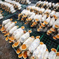 山东冠县灵芝基地供应发满菌灵芝菌棒 灵芝菌包 剪口可直接出芝
