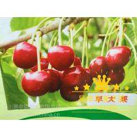 贵州大樱桃苗,2公分大樱桃树苗多少钱一株?