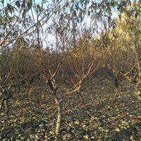 中油18号1.2米高油桃苗 6月成熟油桃树苗