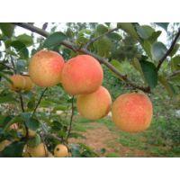 美人酥梨苗多少钱一棵 美人酥梨苗品种介绍