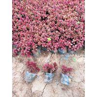 带营养钵红叶景天种植批发基地