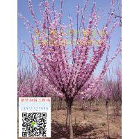 江苏6公分美人梅价格多少钱报价85元每棵风景树基地