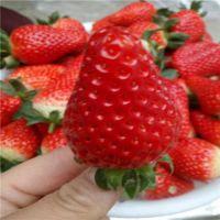 脱毒草莓苗价格 草莓苗新品种 红袖添香草莓苗价格