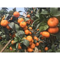 柑橘新品种晶秋砂糖橘 早熟砂糖橘品种