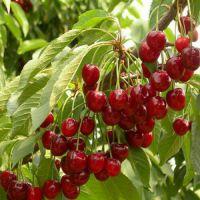 早熟樱桃苗 哪种樱桃苗产量高 樱桃树基地