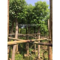 湖南香樟移植,湖南香樟供应各种类型