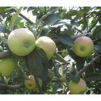 藤木一 辽服苹果 早熟苹果产地批发价格