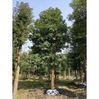 成都精品香樟熟货低价格截杆2年以上低价格一手货源树型优美