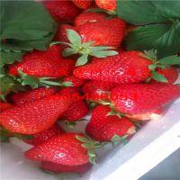 法兰地草莓苗种植基地|草莓苗多少钱一棵