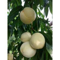 白如玉桃树苗特点 脆甜 白如玉桃树苗品种介绍