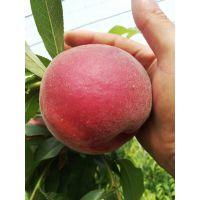 及早脆蜜桃苗品种特性 早熟 及早脆蜜桃苗每棵价格