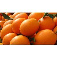 纽荷尔脐橙/果苗/种植苗