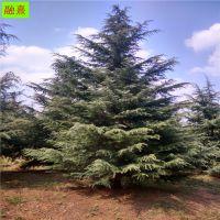 供应精品雪松树 现货出售 规格齐全 4米5米6 7 8 9米南京雪松 圣诞树雪松 一级防护树
