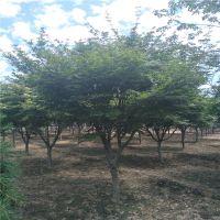 日本红枫小苗 山东3公分4公分5公分6公分日本红枫产地批发 6公分日本红枫价格