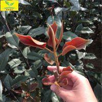 红梨苗 早酥红梨树苗 1-3公分规格 品种齐全 果实酸甜爽口 黄金梨 秋月梨