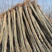 107杨树苗、107种条、扦插段、山东杨树苗价格、适用于绿化制作纸浆木材