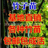 竹子苗紫竹苗金镶玉竹苗青竹苗罗汉竹苗庭院盆栽绿化观赏植物