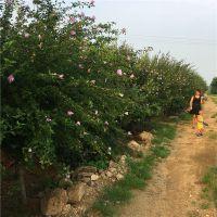 全国批发绿化工程苗 木槿树苗 规格齐全 道路小区绿化 当年开花