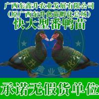 和田市-野鸡苗养殖技术-湖北鸡苗-浙江鸡苗批发