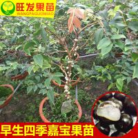 供应台湾早生四季嘉宝果苗树葡萄苗南北方种植盆栽地栽耐寒嘉宝果树苗