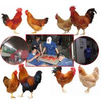 附近那里有卖小鸡苗 贵州赫章有乌骨鸡苗卖 土鸡苗图片 江西正宗麻羽鸡苗批发
