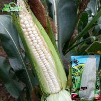 拖车头-甜加糯玉米种子 白色水果玉米种子 香甜粘糯早熟高产200