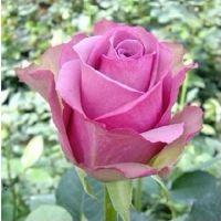 新品种切花月季 花苗 冷美人 芳香玫瑰  盆栽植物花卉 成活率高