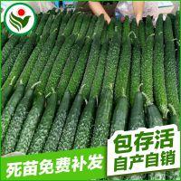蔬菜黄瓜种子 优质金品露旺黄瓜种子 厂家批发黄瓜种子每袋20克