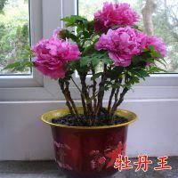 阳台花卉盆栽室内菏泽牡丹苗芍药四季易种当年开花5年苗植物庭院