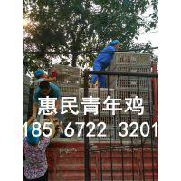 常年供应江苏宿迁60-120日龄海兰褐,罗曼粉,京红青年鸡
