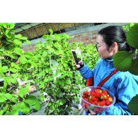 四川观光园草莓种植槽-草莓蔬菜种植槽-特价优惠