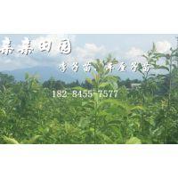 李子苗出售价格,李子树苗种植基地,李树苗批发销售