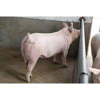 河南新大牧业二元母猪 母性好 繁殖能力强