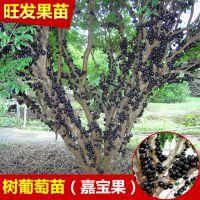 供应批发树葡萄苗嘉宝果地栽树葡萄苗果树苗 量大从优品种正宗优质
